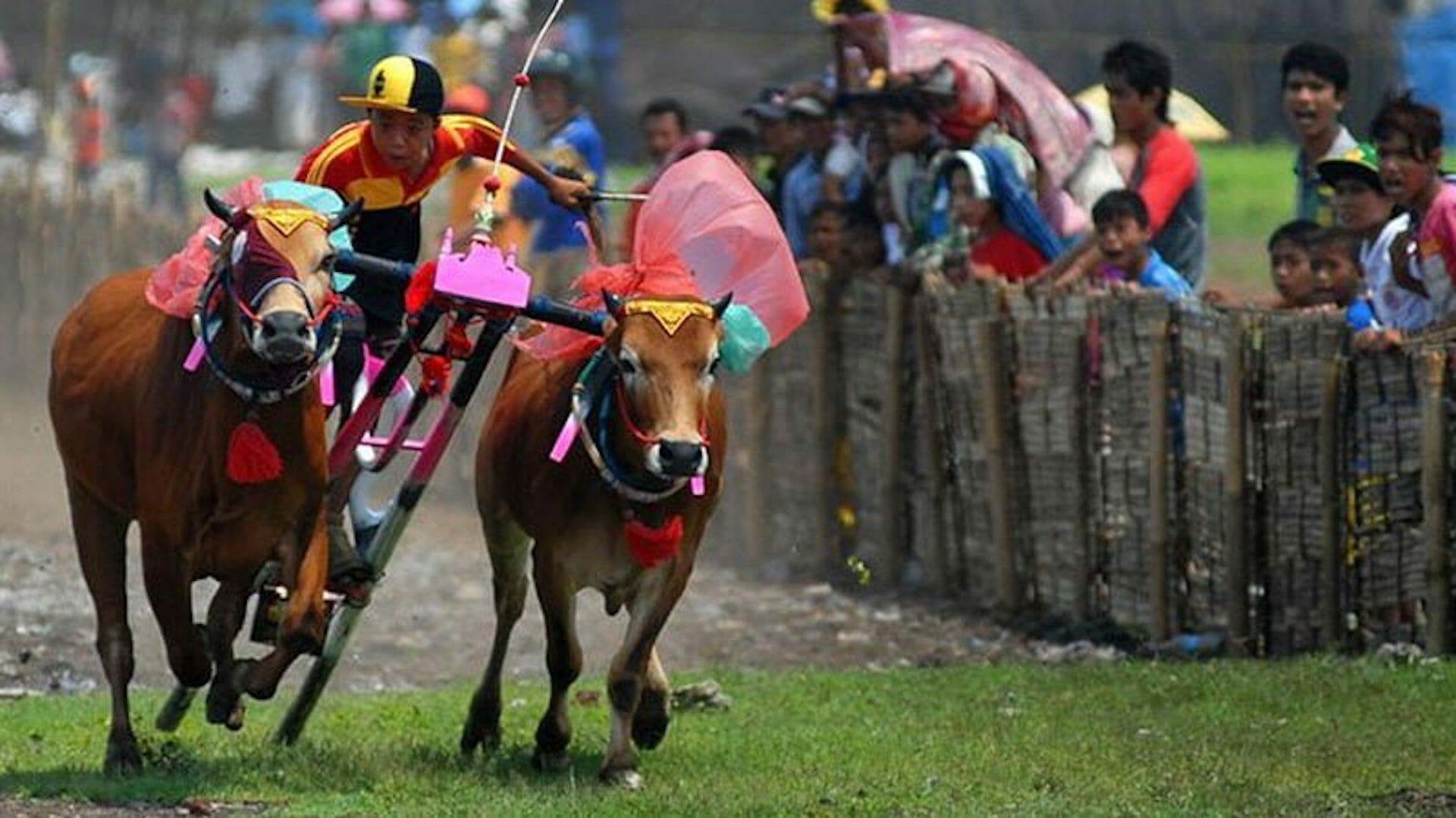 Beside Sport - Découvrez le Karapan Sapi, la Formule 1 indienne -